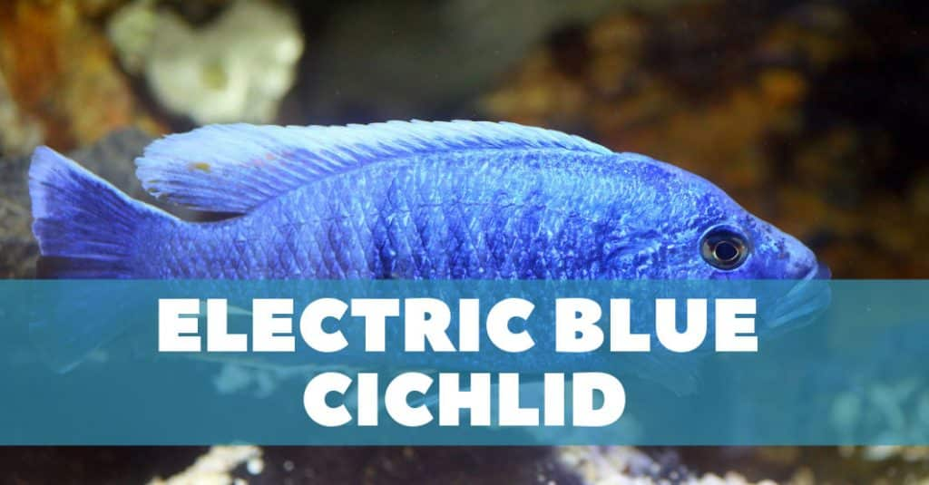 Featured image for Electric Blue Cichlid