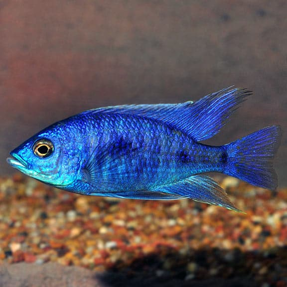 Image of the Electric Blue Hap fish
