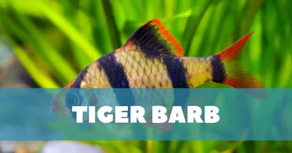 Tiger Barb Fish Care Guide