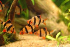 Image of the tiger barb fish swimming in a school