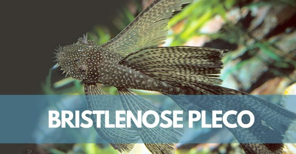 Bristlenose Pleco Care Guide