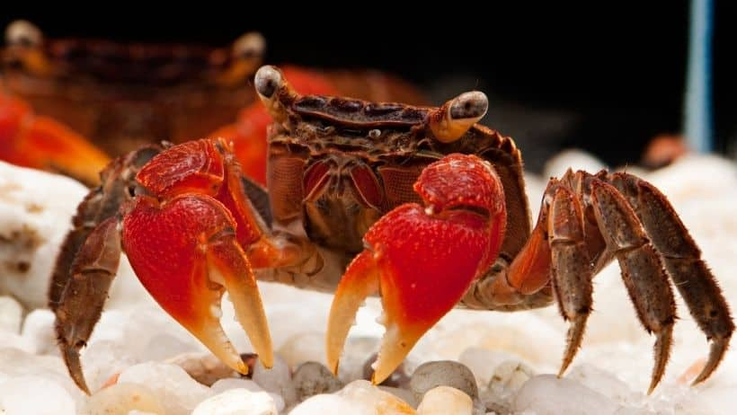 Freshwater Crab Guide